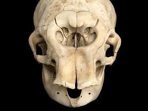 Crani - Forma e funzione nel mondo dei mammiferi