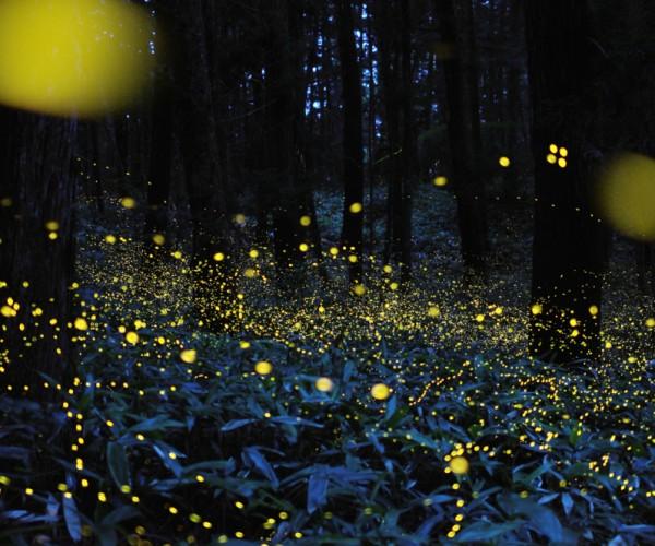 Danza delle lucciole, ©Tsuneaki Hiramatsu