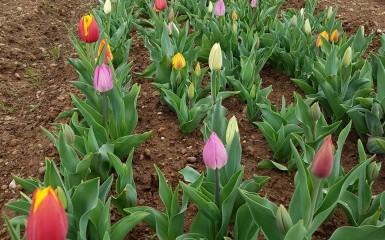 Tulipani a Milano